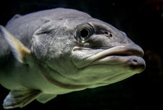 FIsh Face. Large grey fish face and lips royalty free stock photography