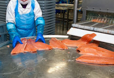 Fish factory salmon production stock photo