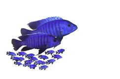 Fish family. With  baby fishes isolated Stock Images