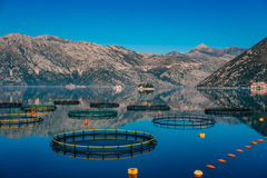 Fish farm in Montenegro. The farm for breeding and fish farming. In the Bay of Kotor Royalty Free Stock Image