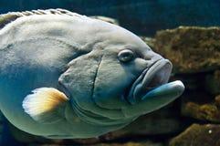 Fish. Fat skinny looking aquarium fish Royalty Free Stock Photo