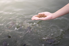 Fish feed. Close up Fish feed inhand Royalty Free Stock Photo