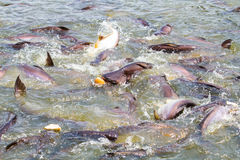 Fish feeding. Feeding catfish in tropical river Stock Image