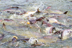 Fish feeding. Feeding catfish in tropical river Royalty Free Stock Photos