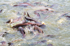 Fish feeding. Feeding catfish in tropical river Stock Images