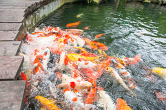 Fish feeding of koi Royalty Free Stock Photo