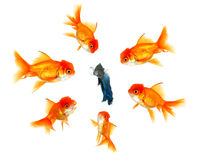 Fish Feeling The Pressue From His Peers. Lone Beta Fish Feeling The Pressue From His Peers Stock Photo