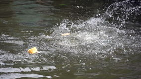Fish are Fighting for Breads stock footage