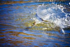Fish fighting on line/tail. A fish being pulled in fighting on the line. His tail fins are visible above the water as he dives royalty free stock photography