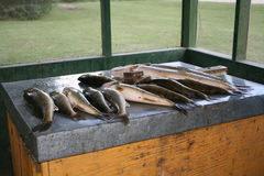 Fish on filleting table. Walleye & northern pike on filleting table Royalty Free Stock Photos
