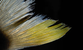 Fish fin. It is a close-up view of fish tail fin, isolated Stock Images