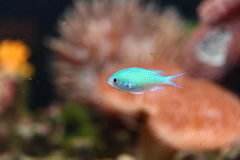 Colorful tropical fish. Side view of colorful tropical fish swimming in aquarium Royalty Free Stock Photos