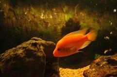 Fish in fish tank Stock Photography