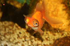 Fish in the fishbowl 2. Little orange fish in the fishbowl Royalty Free Stock Images