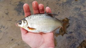Fish in the fisherman`s hand. Catch on the background of the river stock footage