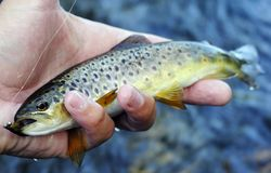 Brook trout caught in the Karelia river by fly fishing royalty free stock photography