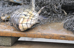 Fish in a fishing net. In the harbor royalty free stock photography