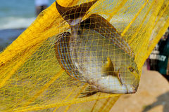 Fish in a fishing nets Stock Photo