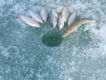 Fish. Ing on the river Оb Stock Photography