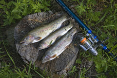Fish and fishing rod Royalty Free Stock Image
