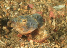 Fish - Flasher scorpionfish Royalty Free Stock Images