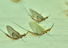 Fish flies on a wooden table Royalty Free Stock Image