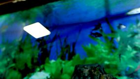 Fish float in an aquarium. Fish and green algae in the aquarium. Fish float in an aquarium on a blue background. Fish and green algae in the aquarium stock video footage