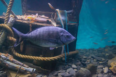 Fish floating in the water near the treasure. Big fish floating in the water near the treasure Stock Photography