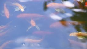 Fish floating on the water surface in the pond stock footage