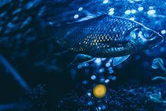 The fish floats in an aquarium. With a backlight Stock Photos