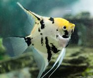 A fish floats in an aquarium at home Stock Images