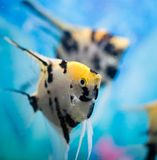 A fish floats in an aquarium at home Stock Photo