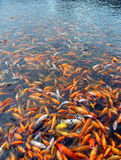 Fish flock colorful background Royalty Free Stock Photo