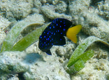 Fish. Fluorescent blue spots on this fish found in the Caribbean Sea of Ambergris Caye stock photography