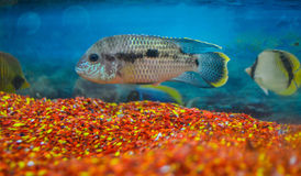 An aquarium click. A fish in focus, showing whole great environment of an aquarium stock image