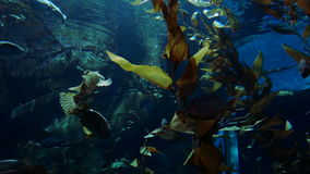 Fish and Foliage Underwater. Colorful fish swim in an aquarium around underwater plants stock footage