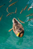 Fish folowing a duck in clear water Royalty Free Stock Images