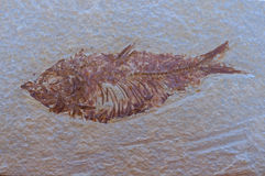 Fish Fossil. An excavated fossel of an ancient fish stock image