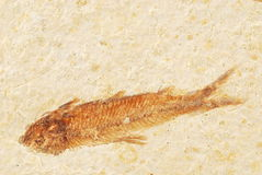 Fish Fossil Background