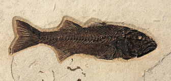 Fish Fossil. A fish fossil embedded in a rock Royalty Free Stock Photography