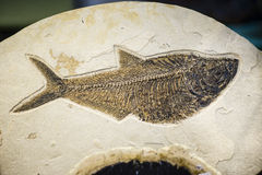 Fish fossil, extinct species print. On sand stone stock photography