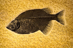 Fish Fossil in Rock Royalty Free Stock Image