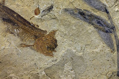 Fish fossil Royalty Free Stock Photography