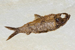Fish fossil in sandstone Royalty Free Stock Photo