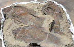 Fish Fossil Royalty Free Stock Images