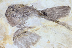 Fish fossile Royalty Free Stock Photos