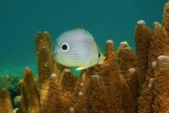 Fish foureye butterflyfish Chaetodon capistratus Stock Image