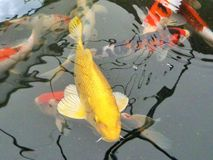 Fish frenzy. Friendly (or hungry?) fish at the garden centre in trowel, nottinghamshire Royalty Free Stock Photo