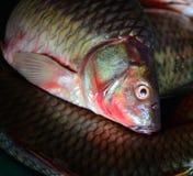 Fish fresh. Close up of Fish fresh Common carp Stock Image