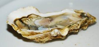 Fish. Fresh fresh oyster. Stock Photography